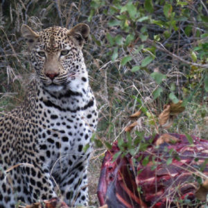 Even leopards will scavenge off others kills.