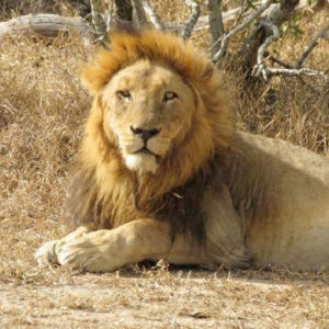 One of the Matimba males enjoying the cool winter sun.