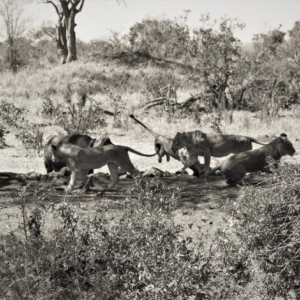 Difficult to even drink in peace – Imbali Pride being chased by Buffalo Imbali Waterhole