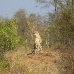 Keeping a look out from the top of a termite mound