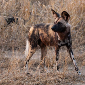 Hamiltons Pack pups seen by our vehicle for first time on S36