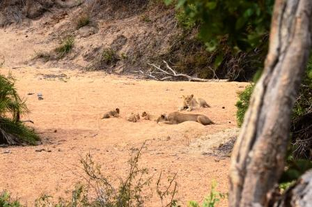 Femals Lions with Three Cubs on N'waswitsontso Loop Public Road