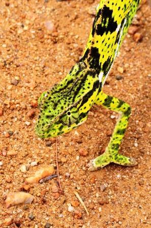 Flap-necked Chameleon 1