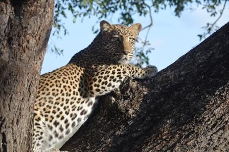 Young un-named male Leopard at Hamiltons wier
