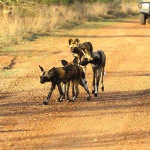 Pack found close to Hoyo Hoyo Safari Lodge