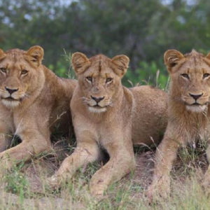 """3 youngster from our Imbali Pride – amazing characters"""