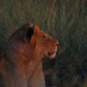 Beautiful capture of Sub-adult from Imbali Pride in the setting sun