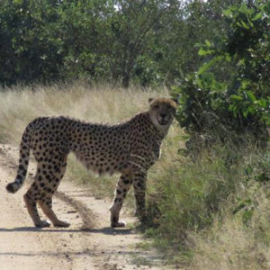 Checking for scent from other Cheetahs