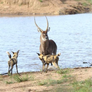 Waterbuck staying in the safety of the water