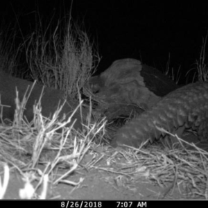 Pangolin coming out of its hiding place on its way to find food