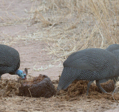 Even though I was focused on lions, this flock of Guinea Fowl, scratching in elephant dung caught the attention of my lens.