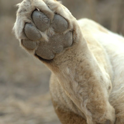How many kilometers has THIS paw padded along?