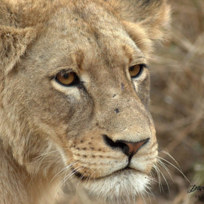I did not realize that this lioness had blonde eyelashes. That being said, she looks almost forlorn.
