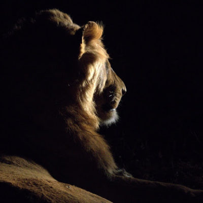 "My final sighting... Lions are truly magnificent creatures and well deserving of the title; ""King of the jungle"" My thanks to all the rangers involved in getting us to these amazing sightings."