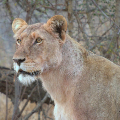 This is the lioness that might have inflicted the damage. Positioned not too far away, she was on high alert.