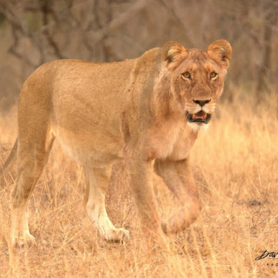 With this lighting, it is easy to see how a lioness can become almost  invisible in the tall dry grass.