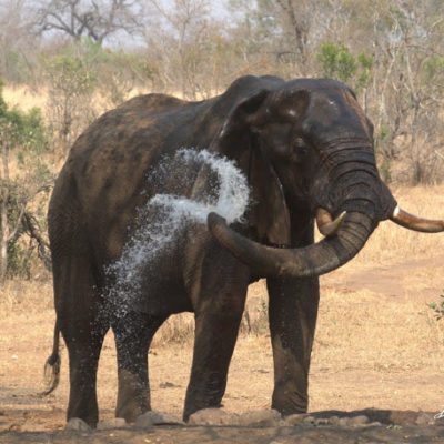 """And THIS Impala seems to be totally dismissive of this large tusker. This particular individual has a """"broken"""" ear, which hung like a curtain and unable to be flapped."""
