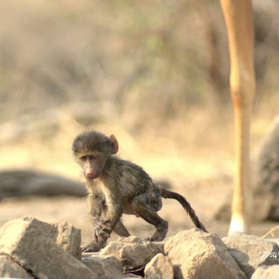 This baby baboon took an unexpected swim when it fell into a waterhole. Luckily it was a warm day and he was able to dry off quickly.