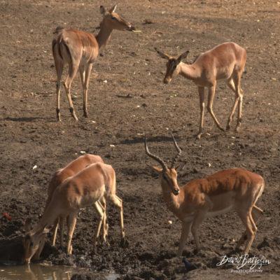 Even this Impala ram had a few drops of water  coming off his chin as he stood up.