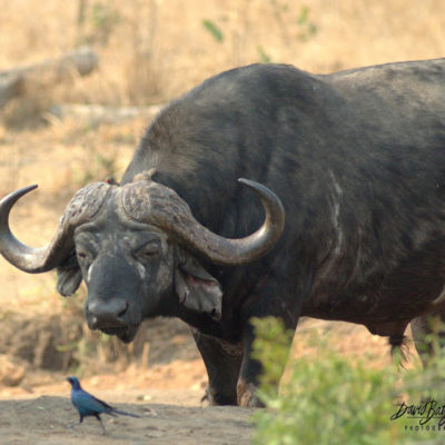 Focused on the Glossy Starling, this is the mighty African Buffalo. I have been told that they always look at you as if you owe them money. This bull seems to be staring at the Starling with the same expression.
