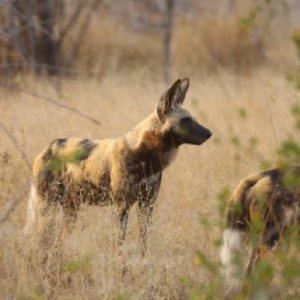 Wild Dogs on the hunt listening for watching