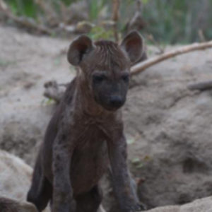 Hyena pups curios and full of life – den active close to Hoyo Hoyo Safari Lodge