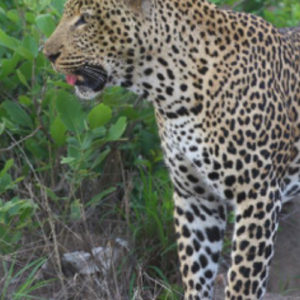 Wabayisa seen close to Imbali Safari Lodge – Nkhombe Road