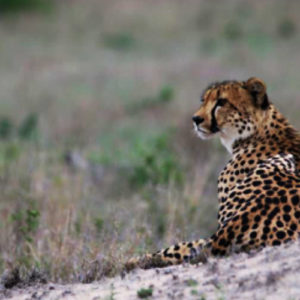 Cheetah watching a herd of Impala on southern cutline close to Hamilton's