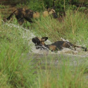Playful dogs at Big Pan after the rains