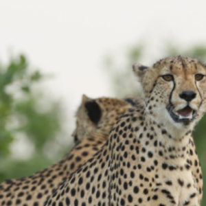 Our visitors from the Sabie Sands – 2 male Cheetah on Southern Cutline
