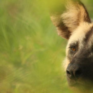 Although hard to see with the long grass – stunning image of Male Wild Dog