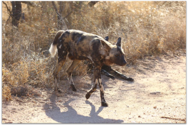 Wild Dogs on the move again hardly ever staying still