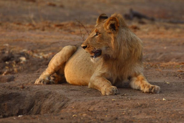 Sub Adult Male from Imbali pride out and about on his own