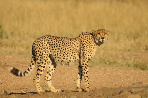 Impressive Cheetah always on the look for a meal or other predators