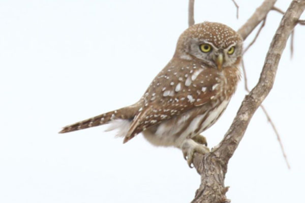 Pearl Spotted Owlet – diurnal owl