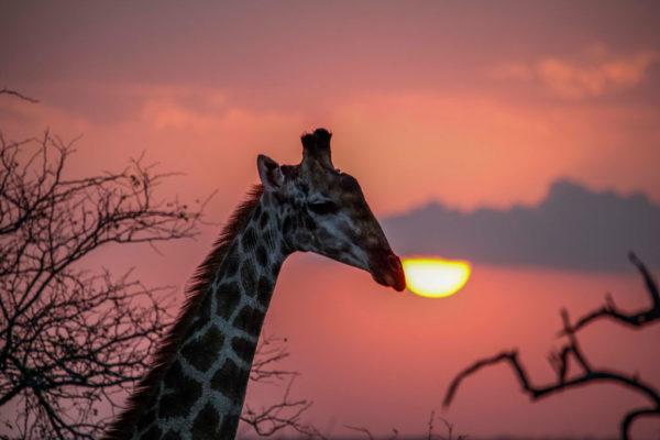 Extraordinary_blog-Mulwati-Giraffe