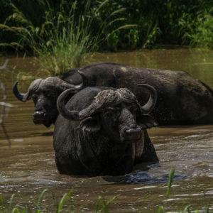 Dagga boys bathing in a muddy pool