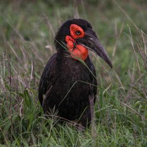 Ground Hornbills around the Hoyo Hoyo