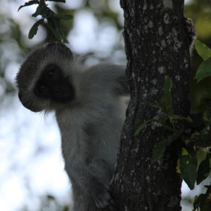 Curios Vervet Monkey
