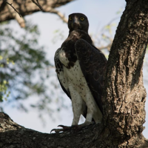 Martial Eagle with very full crop