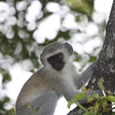 Hoyo-Hamilitons-Imbali-monkey