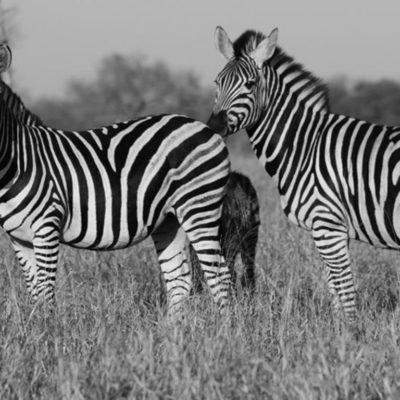 Hoyo-Hamilitons-Imbali-zebra