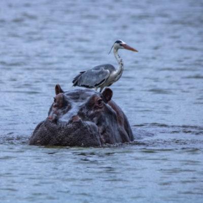 Imbali-hoyo-hammiltons-hippo