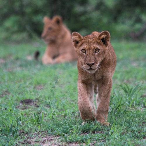 imbali-safaris-lioncub