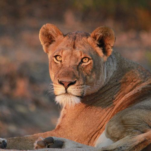 imbali-safaris-lioness