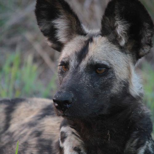 imbali-safaris-wilddog