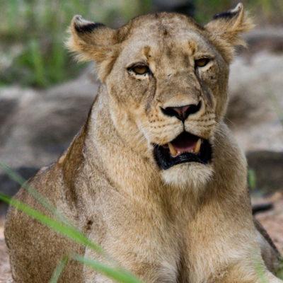 Hoyo-Hamiltons-Imabali-lioness-2