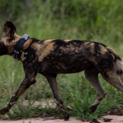 Hoyo-Hamiltons-Imabali-wild-dog-2