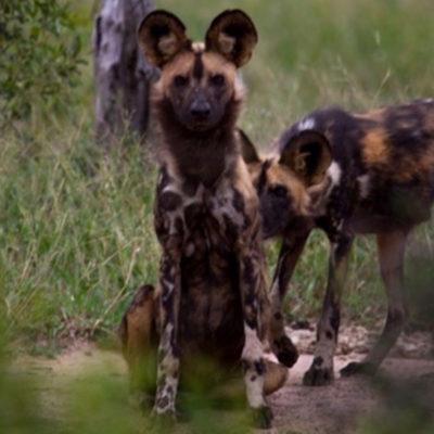 wild-dog-1