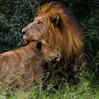 ImbaliHoyoHamilto-Newsletter-male-and-female-lion